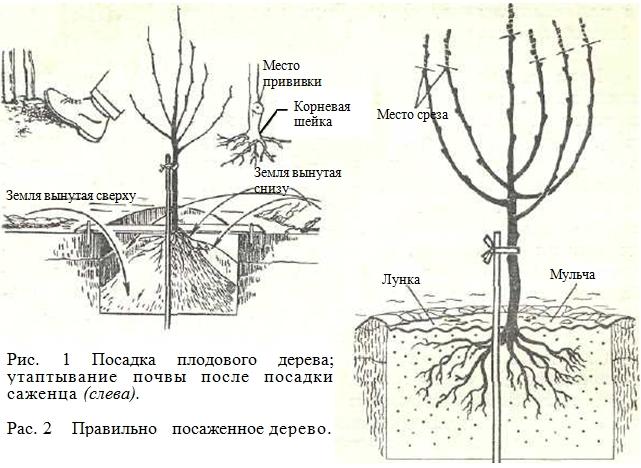 Инструкция Посадки Деревьев